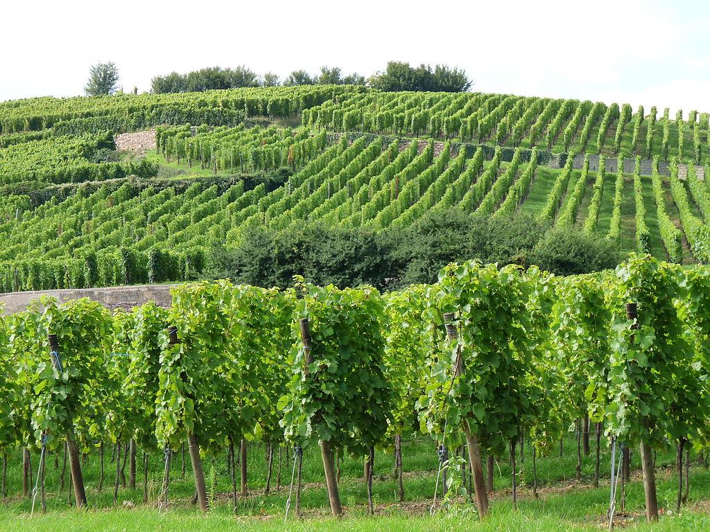 Le vignoble de Ribeauvillé, Haut-Rhin